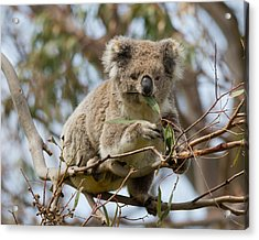 Cool Koala Acrylic Print