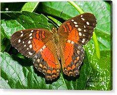 Coolie Butterfly Acrylic Print by Millard H. Sharp