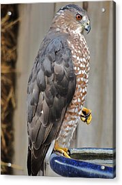 Coopers Hawk 2 Acrylic Print by Helen Carson