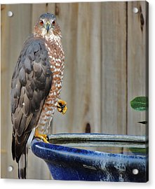 Coopers Hawk 4 Acrylic Print by Helen Carson