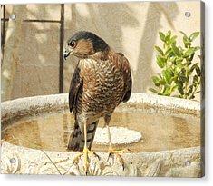 Cooper's Hawk At The Bird Bath Acrylic Print
