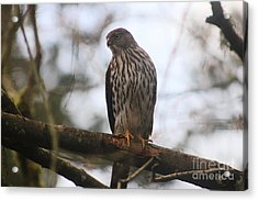 Cooper's  Hawk Dines Here Acrylic Print by Kym Backland