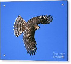 Coopers Hawk Acrylic Print by Jim Zipp