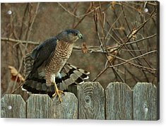 Coopers Hawk Acrylic Print by Joy Bradley