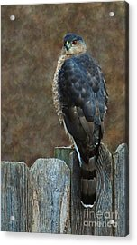Coopers Hawk Portrait Acrylic Print by Joy Bradley