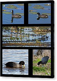 Coot Collage Acrylic Print