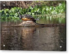 Cooter On Alligator Log Acrylic Print by Paul Rebmann