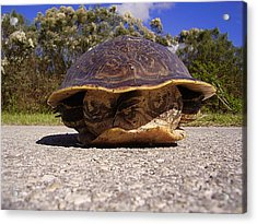 Cooter Turtle 001 Acrylic Print by Chris Mercer