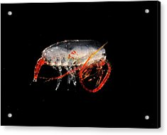 Copepod Crustacean Acrylic Print by British Antarctic Survey/science Photo Library