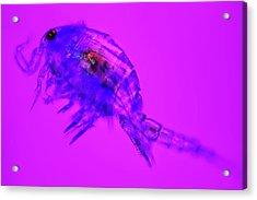 Copepod Crustacean Acrylic Print by Frank Fox