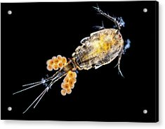 Copepode Acrylic Print by Gerd Guenther