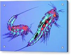 Copepods Acrylic Print