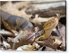 Copperhead In The Wild Acrylic Print