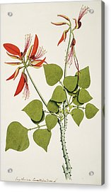 Coral Bean Tree Acrylic Print by Natural History Museum, London/science Photo Library