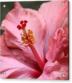 Coral Hibiscus Acrylic Print by Sabrina L Ryan