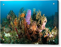 Coral Reef Acrylic Print by Joe Belanger