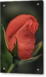 Acrylic Print featuring the photograph Coral Rosebud by Debbie Karnes