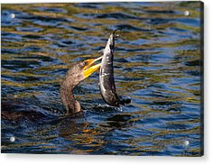 Cormorant And Its Meal Acrylic Print by Andres Leon