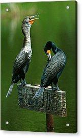 Cormorant Courtship Acrylic Print