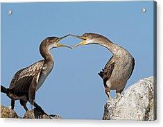 Cormorants Fight Acrylic Print by Alex Sukonkin