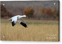 Acrylic Print featuring the photograph Corn And Geese by Ruth Jolly