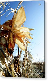 Corn And Husks In A Plantation Acrylic Print