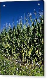 Corn And Wildflowers Acrylic Print