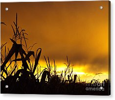 Corn At Sunset Acrylic Print