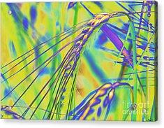 Corn Acrylic Print by Carol Lynch