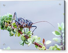 Corn Cricket Acrylic Print by Peter Chadwick