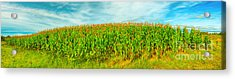 Corn Crop Acrylic Print by MotHaiBaPhoto Prints