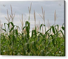 Acrylic Print featuring the photograph Corn Field by Laurel Powell