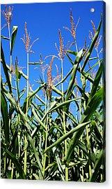 Corn Field Rural America Acrylic Print by Heather Allen