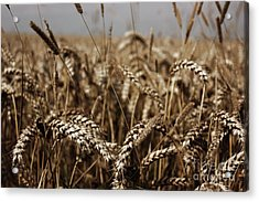 Acrylic Print featuring the photograph Corn Field by Vicki Spindler