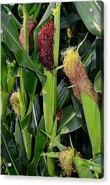 Corn Growing Acrylic Print