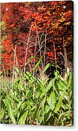 Corn Growing In A Field And Autumn Acrylic Print