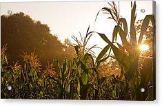 Corn In The Sunlight Acrylic Print by Cristin Sirbu