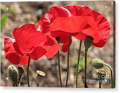 Acrylic Print featuring the photograph Corn Poppies by Michele Penner