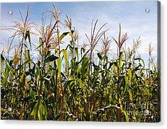 Corn Production Acrylic Print by Carlos Caetano