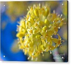 Cornelian Cherry. Cornus Mas. European Cornel Acrylic Print by Ausra Huntington nee Paulauskaite