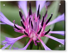 Cornflower Bloom Acrylic Print by Mark Severn