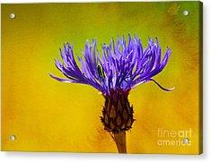 Cornflower Composing Acrylic Print by Lutz Baar
