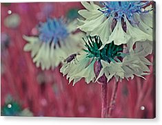 Cornflower With Lilac Fly Acrylic Print