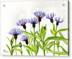 Cornflowers Acrylic Print by Sharon Freeman