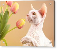 Cornish Rex Cat Acrylic Print