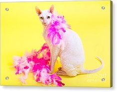 Cornish Rex Acrylic Print
