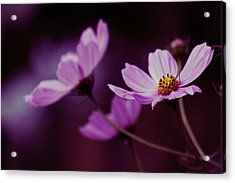 Acrylic Print featuring the photograph Cosmo After Glow by Kay Novy