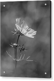 Acrylic Print featuring the photograph Cosmo Flower Reaching For The Sun by Debbie Green