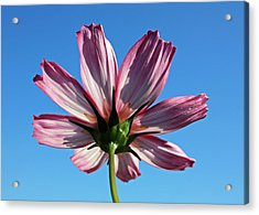 Acrylic Print featuring the photograph Cosmos 2 by Gerry Bates