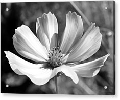 Acrylic Print featuring the photograph Cosmos Bw1 by Gerry Bates
